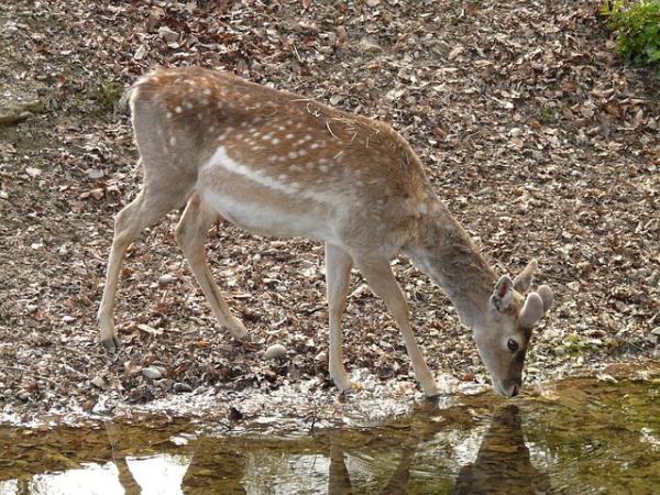 Deer Drinking From Stream resized 600