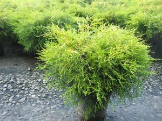 Golden Threadleaf False Cypress