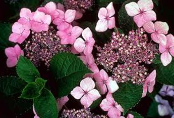 Hydrangeas Lacecap