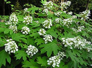 Hydrangeas Oakleaf