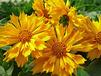 Tickseed Coreopsis
