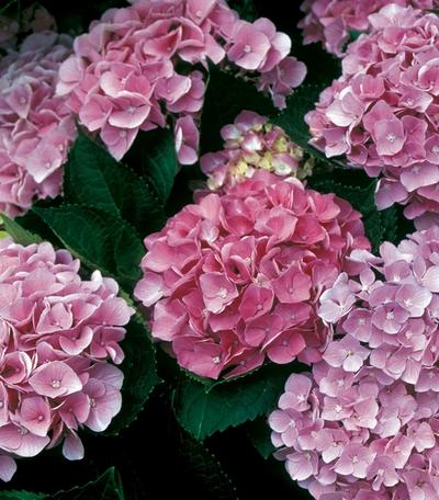 flowering shrubs hydgrangeas