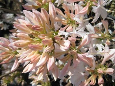 flowering shurbs azalea
