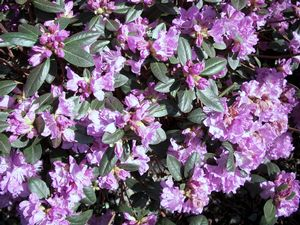 flowering shrubs rhododendrons
