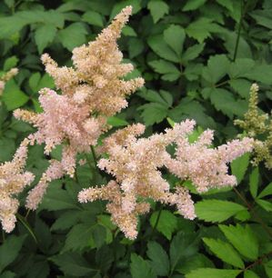 flowering shrubs spirea