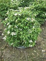 flowering shrubs viburnums