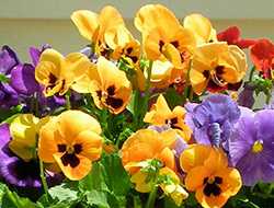 pansies for fall color
