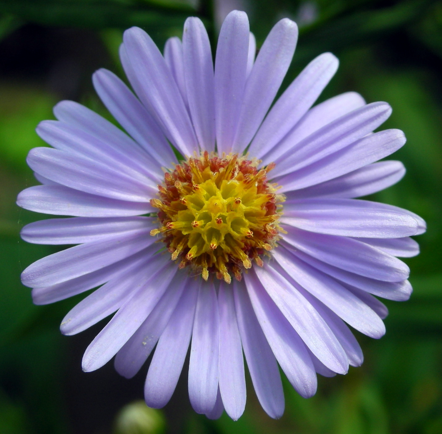 aster_tataricus.jpg?t=1536080699790&width=89&height=87&name=aster_tataricus Landscape with Fall Color Plants