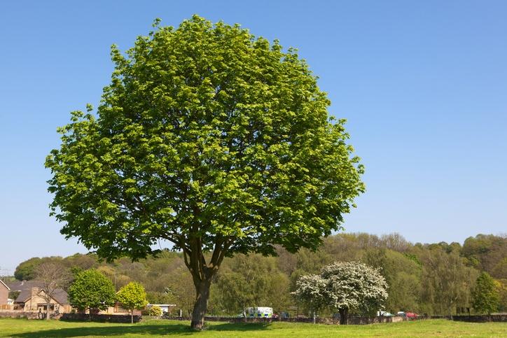 Tall-green-tree